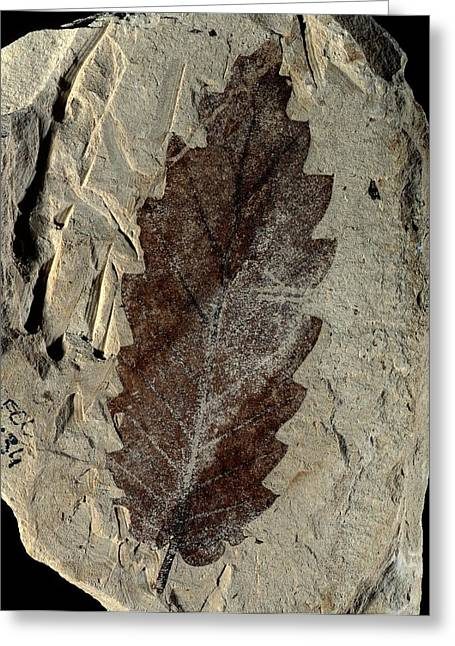 Oak Leaf Fossil Greeting Card by Gilles Mermet
