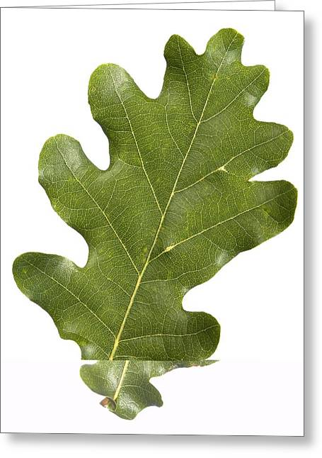 Oak (quercus Robur) Leaf Greeting Card by Science Photo Library