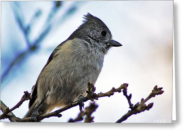 Oak Titmouse Greeting Card