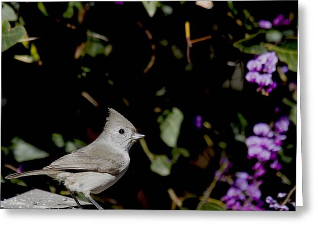 Oak Titmouse Greeting Card by Michael Riley