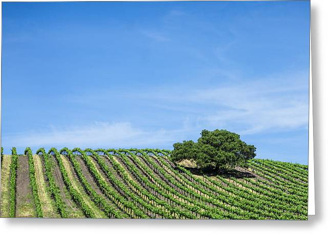 Oak Tree Amid The Grapevines  Greeting Card