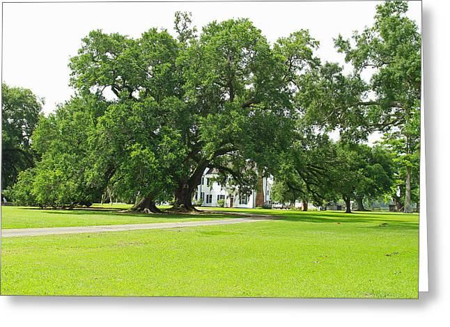 Oak Tree In Front Antibelum Home Greeting Card by Ronald Olivier