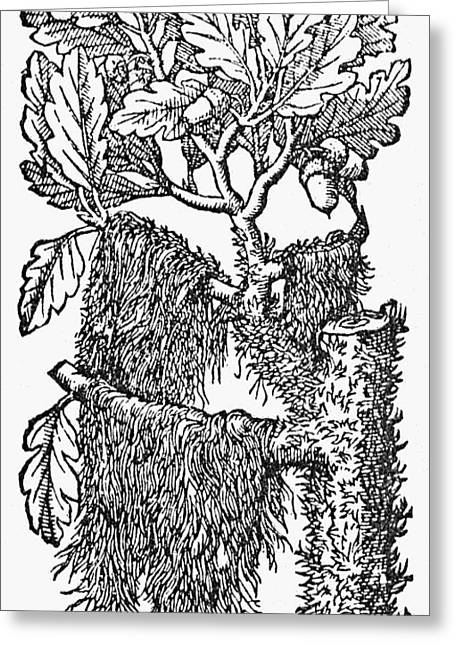 Oak Tree With Its Acorns Greeting Card by Granger