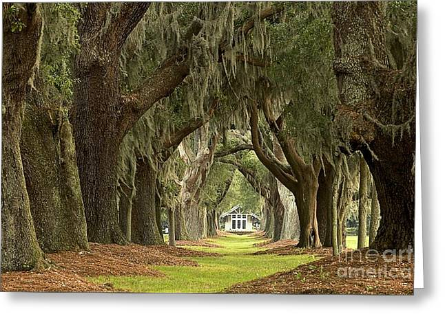 Oaks Of The Golden Isles Greeting Card