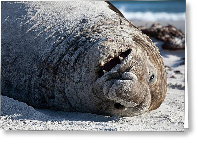 Obesity In Animals A Happy Elephant Seal Greeting Card