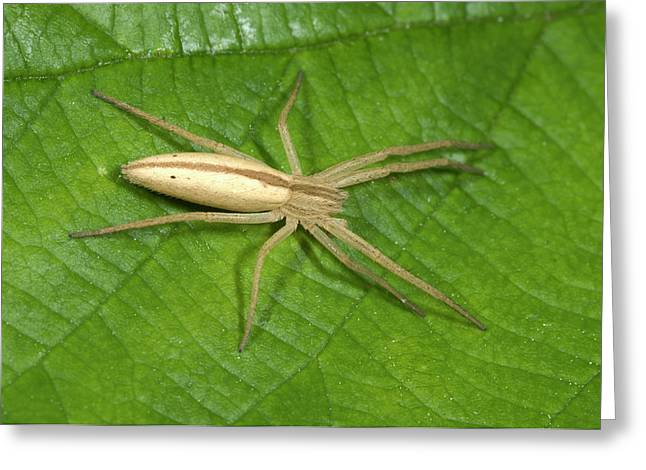 Oblong Running Crab Spider Greeting Card
