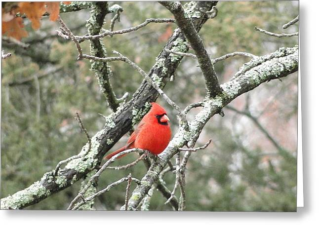 Observing Cardinal Greeting Card by Cindy Croal
