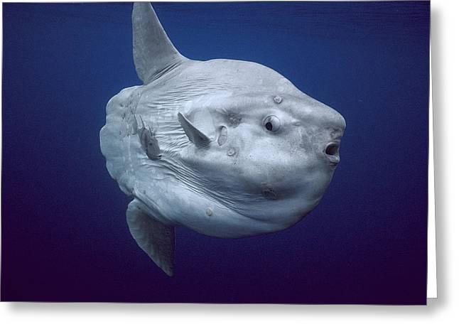 Ocean Sunfish Portugal Greeting Card by Hiroya Minakuchi