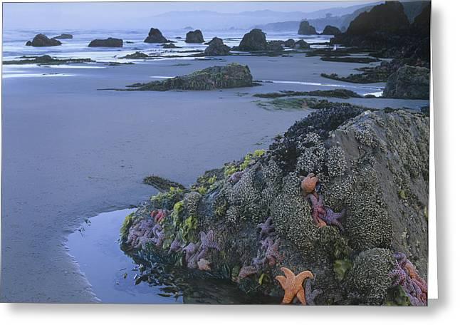 Ochre Sea Stars At Low Tide Miwok Beach Greeting Card by Tim Fitzharris