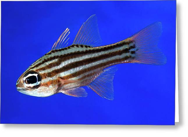 Ochre-striped Cardinalfish Greeting Card by Nigel Downer