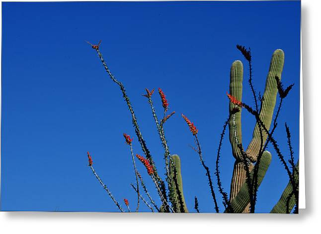 Ocotillo And Saguaro Greeting Card by Diane Lent