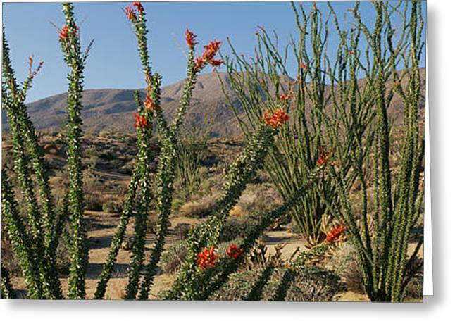 Ocotillo Anza Borrego Desert State Park Greeting Card by Panoramic Images