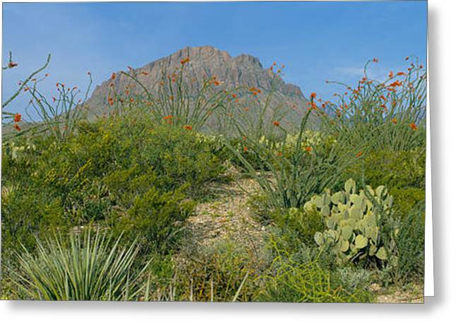 Ocotillo Plants In A Park, Big Bend Greeting Card by Panoramic Images
