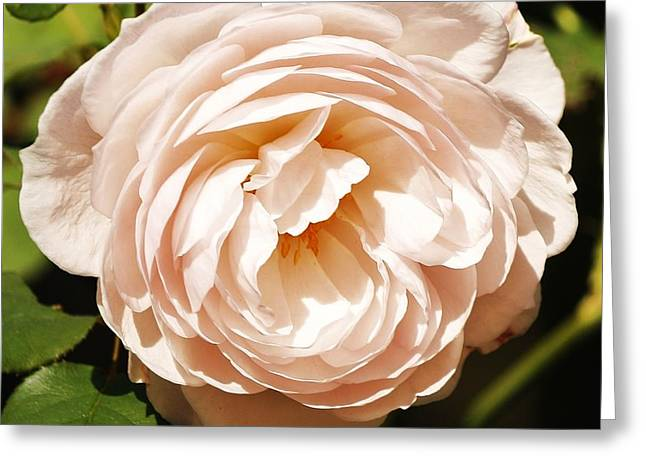 Greeting Card featuring the photograph October Rose by Al Fritz
