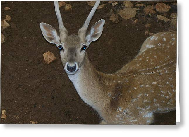 Oh Deer Greeting Card by Noreen HaCohen