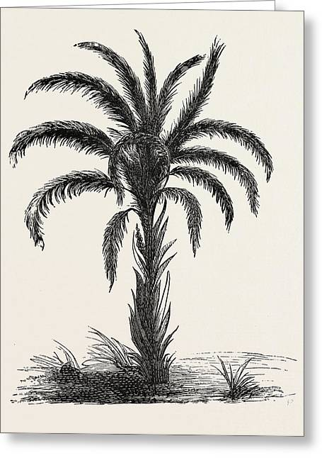 Oil-palm Eloeis Guineensis. Elaeis Is A Genus Of Palms Greeting Card by Litz Collection