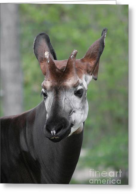Greeting Card featuring the photograph Okapi #2 by Judy Whitton