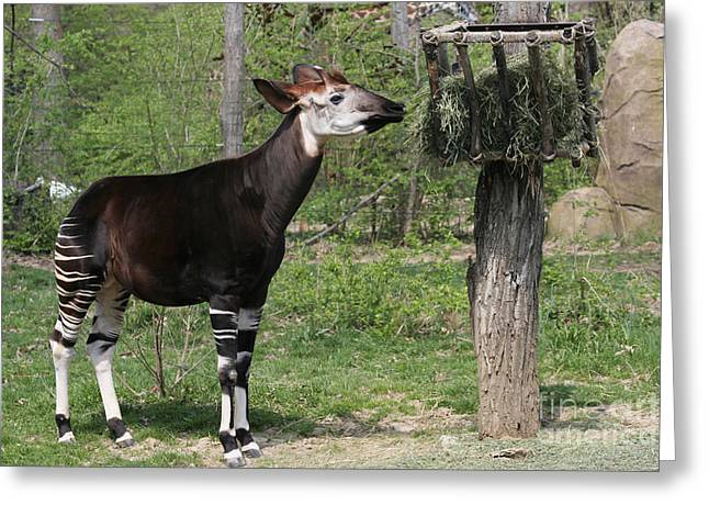 Okapi Greeting Card by Judy Whitton