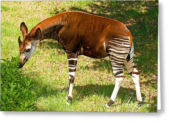 Okapi Greeting Card by Millard H. Sharp