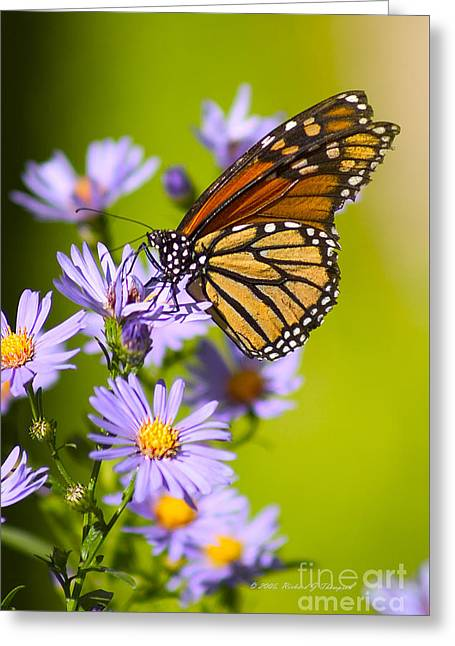 Old Butterfly On Aster Flower Greeting Card