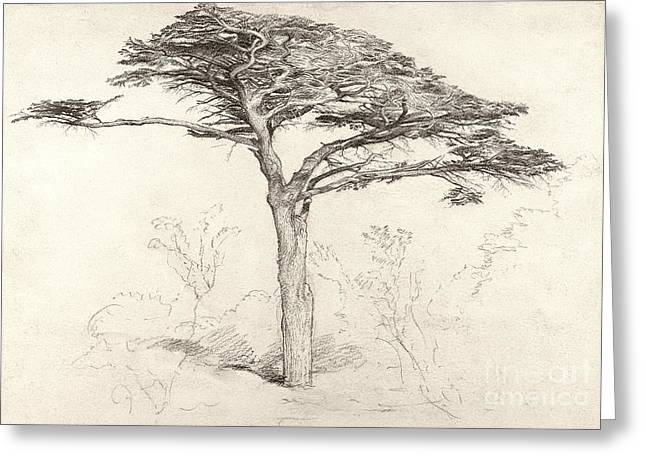 Old Cedar Tree In Botanic Garden Chelsea Greeting Card