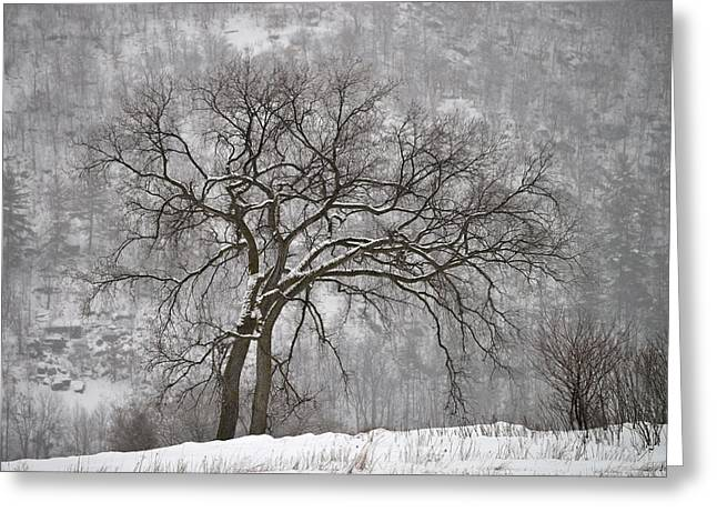 Old Elm Greeting Card by Joshua McCullough