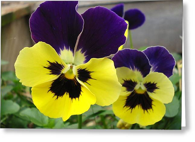 Old-fashioned Pansies Greeting Card