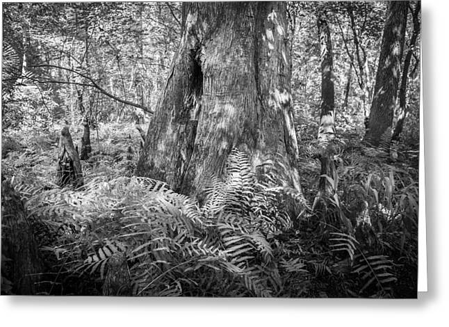 Old Growth Cypress Cypress Knees Bw Greeting Card by Rich Franco