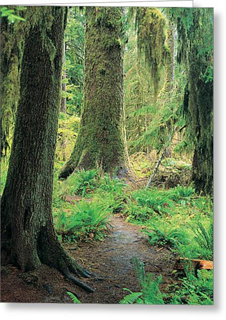 Old Growth Forest At Washingtons Greeting Card by Panoramic Images