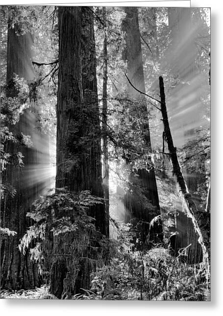 Old Growth Forest Light Black And White Greeting Card by Leland D Howard