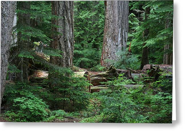 Old Growth Greeting Card