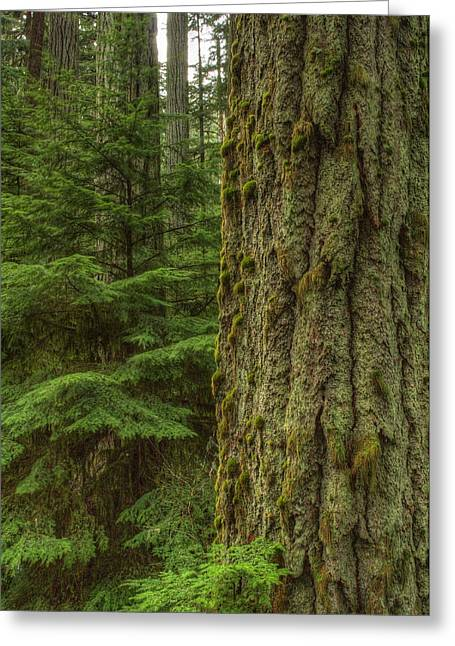 Old Growth Greeting Card by Randy Hall