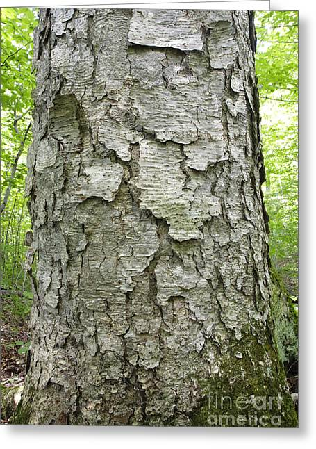 Old Growth Yellow Birch - Harts Location New Hampshire  Greeting Card by Erin Paul Donovan