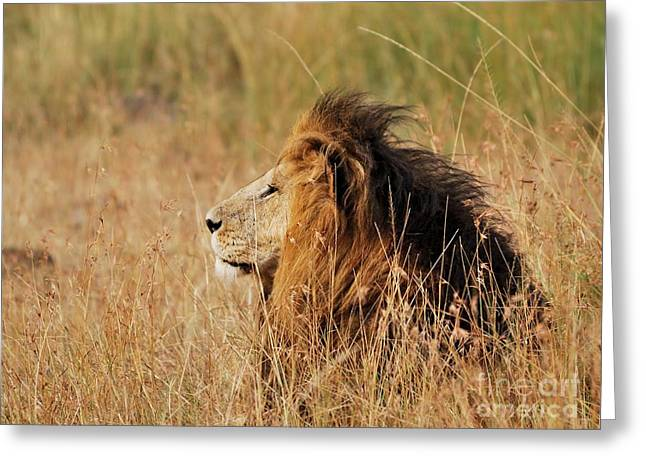 Old Lion With A Black Mane Greeting Card by Alan Clifford