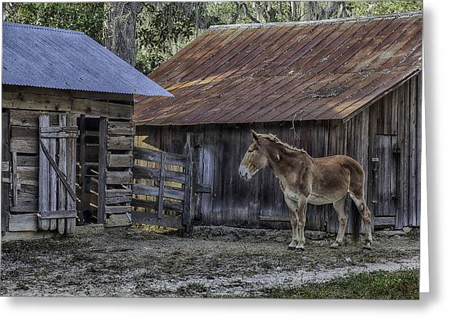 Old Red Mule Greeting Card by Lynn Palmer