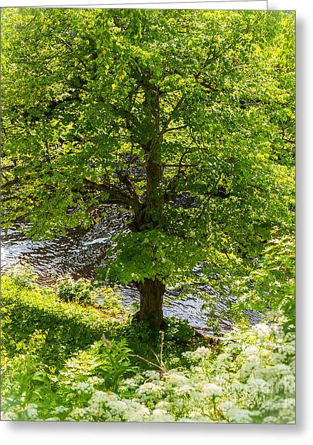 Old Small Leaved Lime At The Riverbank In Oravi Greeting Card
