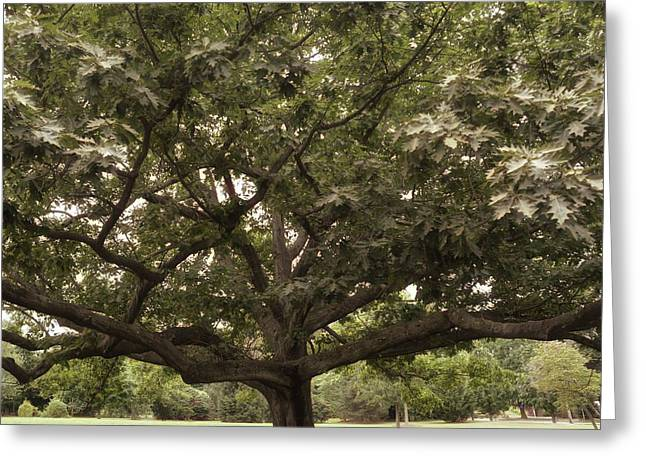 Old Tree Greeting Card by