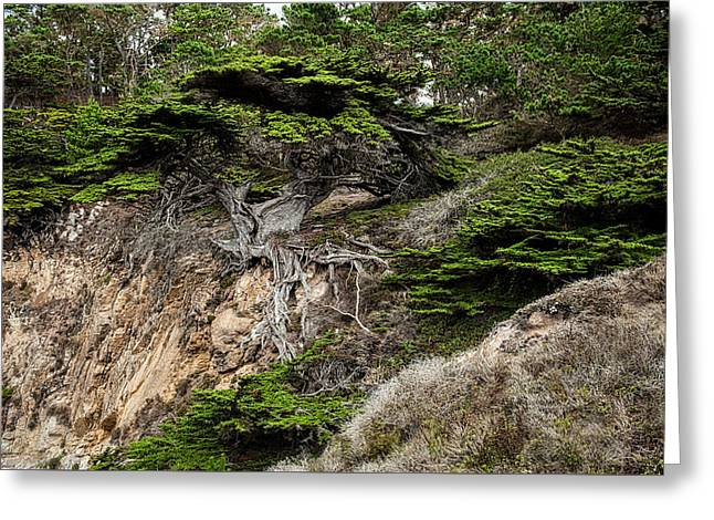 Old Veteren Cypress Tree II Greeting Card