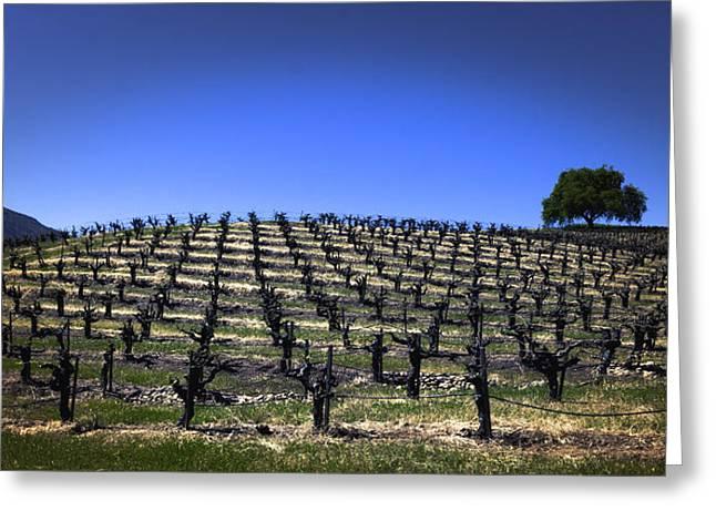 Old Vines Panorama Greeting Card by Karen Stephenson