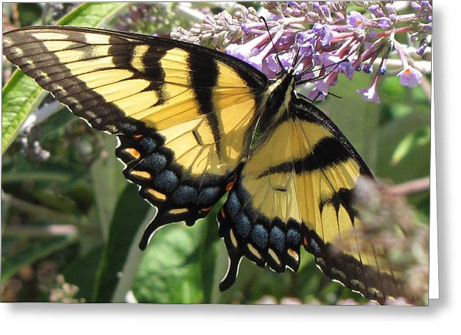 Greeting Card featuring the photograph Old World Swallowtail by Jennifer Wheatley Wolf