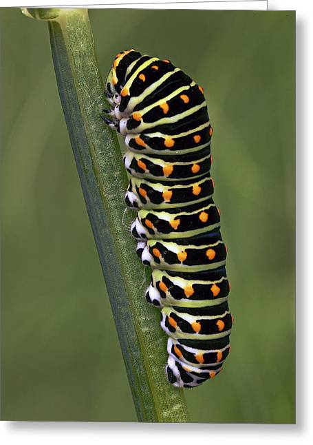 Oldworld Swallowtail Butterfly Greeting Card by Frans Hodzelmans
