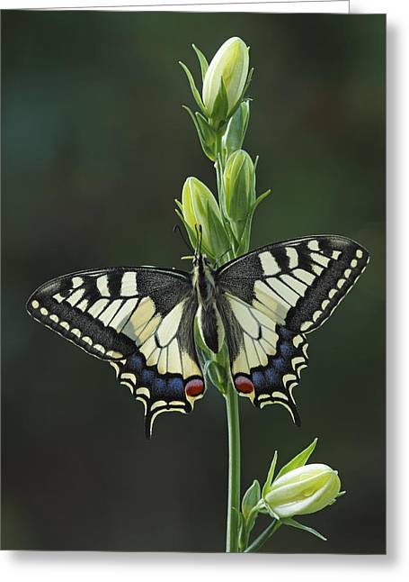 Oldworld Swallowtail Butterfly Greeting Card by Silvia Reiche