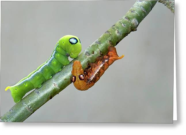 Oleander Hawk-moth Caterpillars Greeting Card