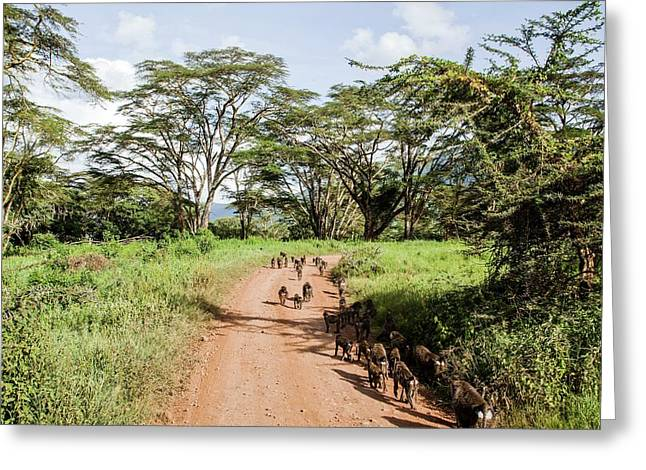 Olive Baboon Papio Anubis Herd Greeting Card by Photostock-israel