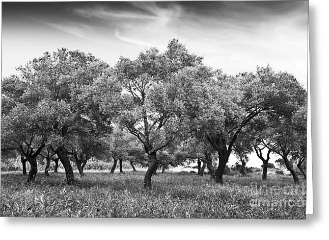 Olive Grove Greeting Card by Delphimages Photo Creations