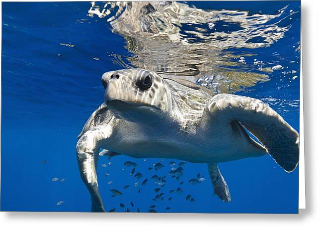 Olive Ridley Turtle Greeting Card by Christopher Swann