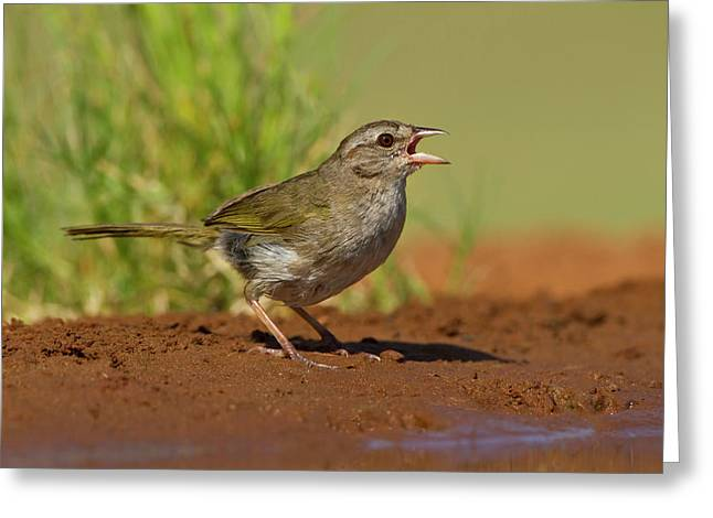 Olive Sparrow (arremonops Rufivirgatus Greeting Card