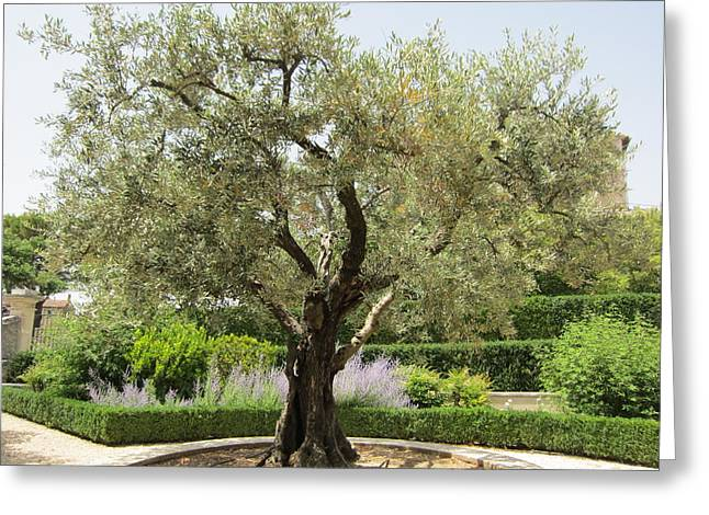 Olive Tree Greeting Card by Pema Hou