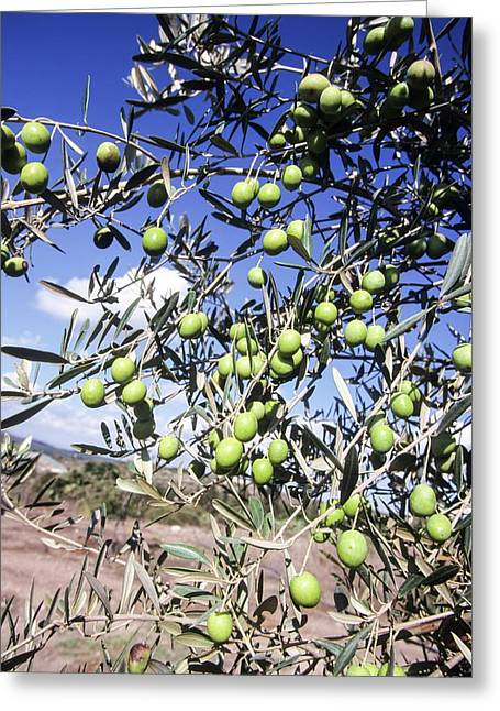 Olive Tree Greeting Card by Photostock-israel