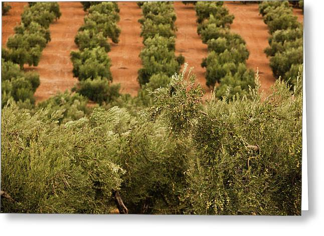 Olive Trees In A Field, Jaen, Jaen Greeting Card